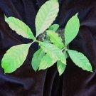 Psychotria alba 4 inch live plant