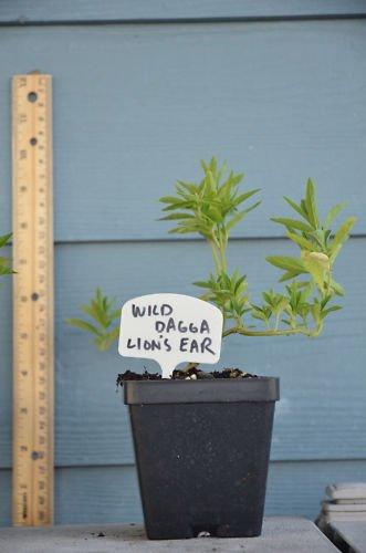 Leonotis Leonurus live plant