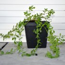 Hypericum Moserianum  st. johns wort