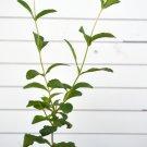 stevia rebaudiana live plant sugar  leaf sweet leaf.