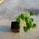 houttuynia cordata live plant vap ca