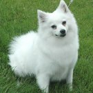 American Eskimo Dog (Miniature)