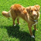 Nova Scotia Duck-Tolling Retriever