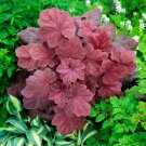 heuchera 'Lava Lamp' (Coral Bells)