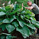 hosta Empress Wu (Giant)