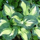 hosta Golden Meadows (Large)