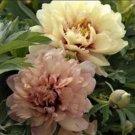 Itoh Peony 'Canary Brilliants' Peony Plant Root