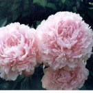 Peony 'Sarah Bernhardt', Fragrant Peony Plant Root