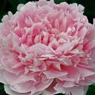 Peony 'Grace Batson', Huge Fragrant Blooms, Peony Plant Root