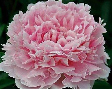 Peony 'Grace Batson', Huge Fragrant Blooms, Peony Plant Root