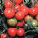 Early Cascade Tomato Seeds - 50