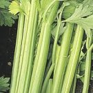 Golden Pascal Celery Seeds - 100
