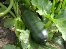 Black Zucchini (Black Beauty) Seeds - 25