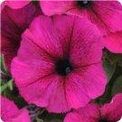 Petunia/Burgundy Seeds - 30