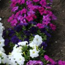 Petunia Storm Mixed Seeds - 30