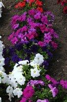 Petunia Storm Mixed Seeds - 30