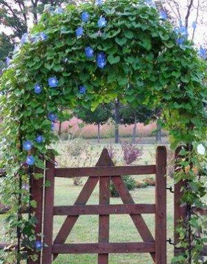 Heavenly Blue Morning Glory Seeds - 30