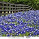 Texas Blue Bonnet Seeds - 100