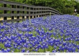 Texas Blue Bonnet Seeds - 100