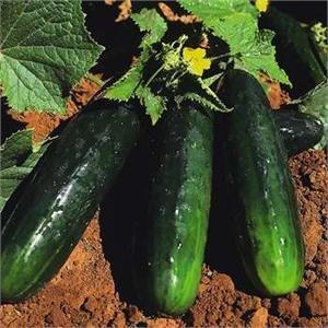 Spacemaster Bush Cucumber Seeds - 100