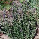 Hyssop Seeds - 50