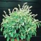 Lime Basil Seeds - 100