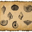 Vintage, Altered, Whimsical, Ephemera, Iron on, SEASHELLS Digital Image Transfer Collage No.39