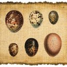 Vintage Iron On Digital Image Transfer Bird Eggs No.119