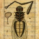 Vintage, Fly, Anatomical, Altered, Ephemera, Iron On Digital Image No.412