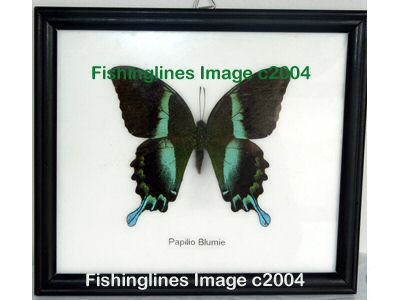 PAPILIO BLUMIE Beautiful Swallowtail Butterfly Mounted Framed � FREE Shipping WORLDWIDE