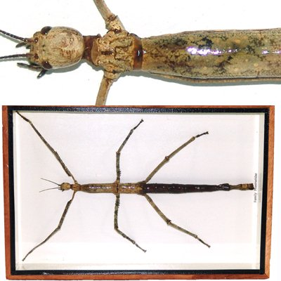 "Giant Phasmidae WALKING STICK 10 1/2 "" Mounted Framed � FREE Shipping WORLDWIDE"