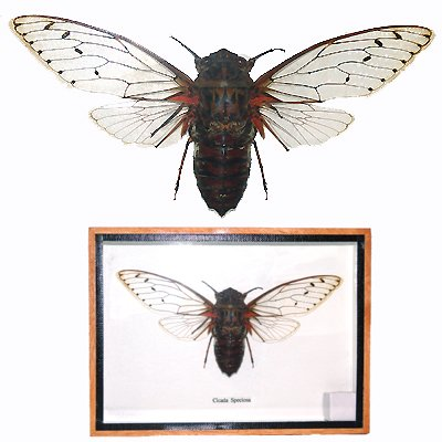 CICADA SPECIOSA Locust Queen Clear Wing Mounted Framed � FREE Shipping WORLDWIDE