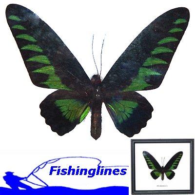 BROOKIANA butterfly Trogonoptera brookiana Mounted Framed � FREE Shipping WORLDWIDE