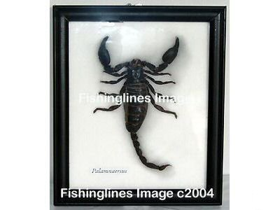 PALAMNAERSUS Large Scorpion Specimen Mounted Framed � FREE Shipping WORLDWIDE