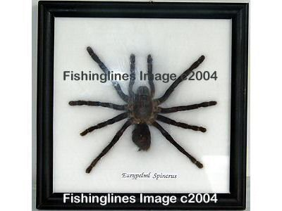 EURYPELML SPINCRUS Large Tarantula Spider Mounted Framed � FREE Shipping WORLDWIDE