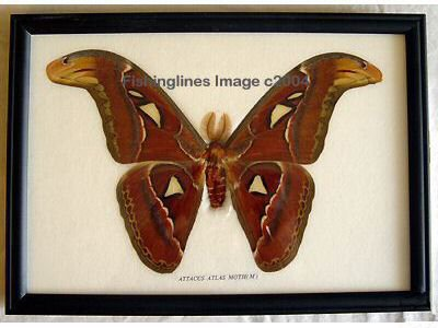 ATTACUS ATLAS MOTH BUTTERFLY M GREAT MARKINGS Mounted Framed � FREE Shipping WORLDWIDE