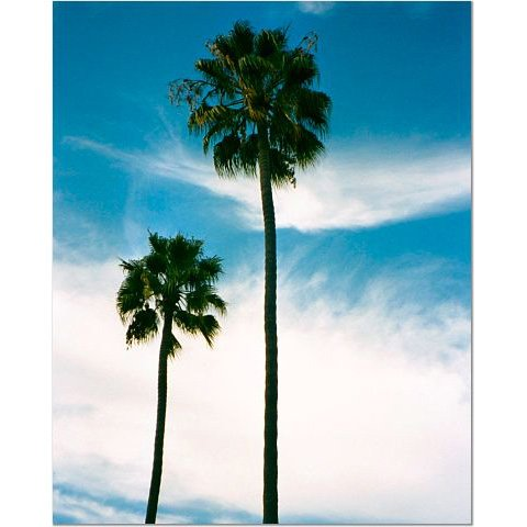 California Palm Trees 8x10 photo