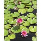 Pink Lotus 8x10 photo