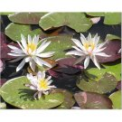 White Flowers on Lilypads 8x10 photo