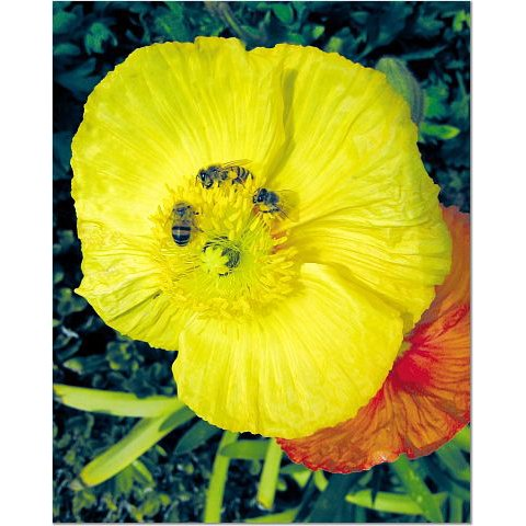 Bees and Poppies 8x10 photo