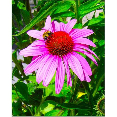 Bee on a Daisy 8x10 photo