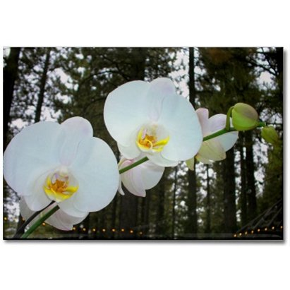 Moth Orchids Magnet