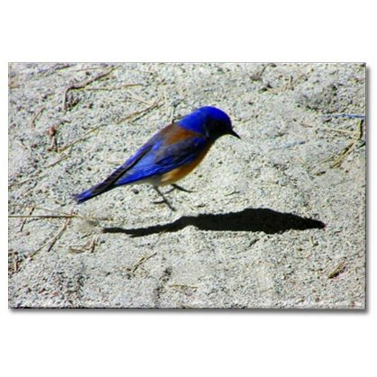 Blue Bird Magnet