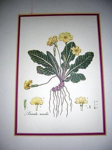 Primula acaulis botanical print from British Museum of Natural History AL1153