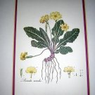 Primula acaulis botanical print from British Museum of Natural History AL1153