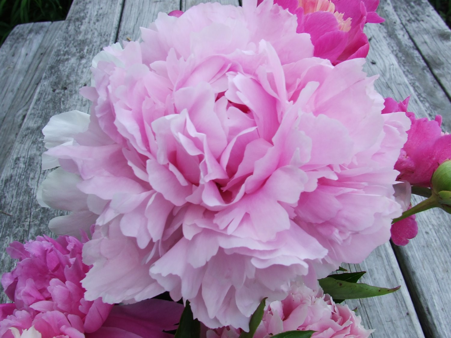 Peonies Flowers 30 Stems Pink Arrival April 28 through May 2011 Arrival