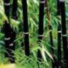 (5) Live Ornamental Black Bamboo Phyllostachys Nigra Rhizomes plant starts