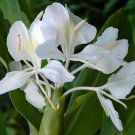 3 White Butterfly Ginger Fragrant Live Hedychium Plants