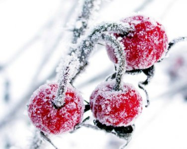 Cherries In The Snow GS3