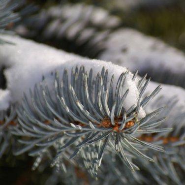 Sugared Spruce GS2